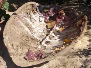 Tortues : carnage sur les plages