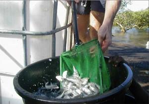 100 tonnes de poissons meurent de faim à Longoni
