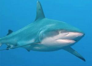 Un enfant de 13 ans tué par un requin à La Réunion