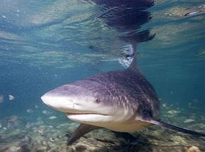 Attaque de requin sur les cages de Longoni