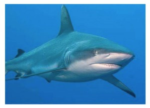 Tollé de l'administration dans l'interdiction de la viande de requin