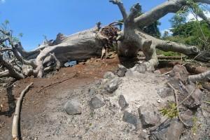 Le Baobab, un élément du patrimoine naturel mahorais en danger