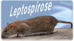La leptospirose, un problème de santé publique