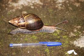 Un enseignant aurait attrapé une méningite à cause des «escargots géants» de Mayotte