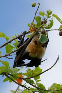 Environnement : Les roussettes menacées d'extinction