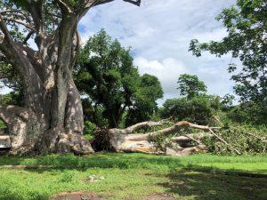 Un baobab s'effondre à Musicale Plage