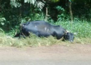 zébu mort : un banal accident de la route