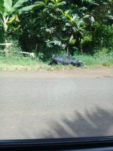 Un zébu mort sur le bord de la route dans le nord de l'île