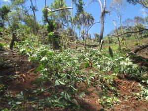 Des cultures implantées illégalement détruites dans la réserve forestière de Majimbini
