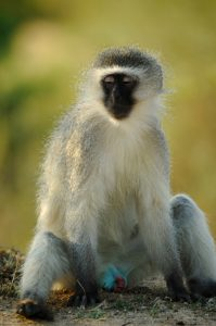 310-blue_vervet_monkey
