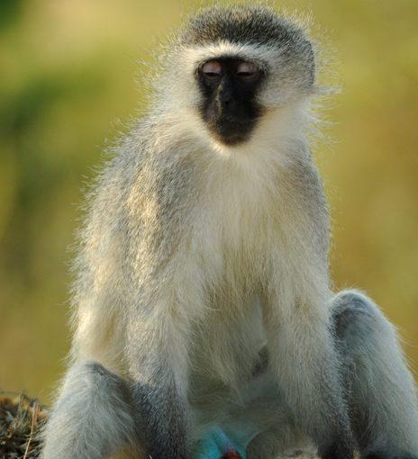 310-blue_vervet_monkey