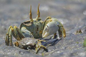 Le crabe des mangroves en pince pour Mayotte