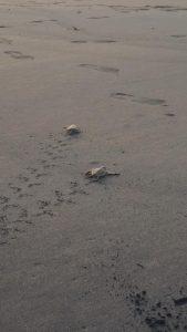 Le suivi de ponte, un outil pour étudier et protéger les tortues marines