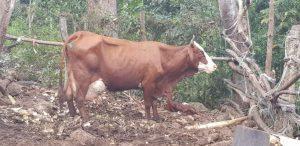 L'aide des minimis agricoles va supporter les éleveurs de bovins de Mayotte