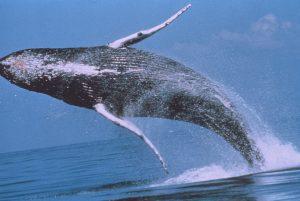 Les baleines sont de retour à Mayotte pour un ballet à faire oublier la Covid