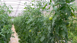 Tomates 1 agriculture
