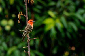 Le Foudi des Comores : zoom sur une espèce d'oiseau menacée à Mayotte