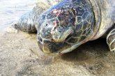 Une tortue blessée sur la plage de Bouéni a due être euthanasiée