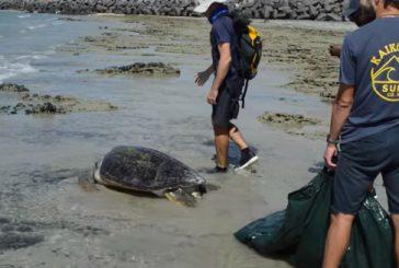 Une tortue en difficulté sauvée par le parc naturel marin
